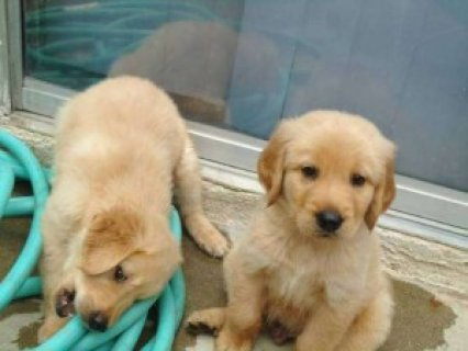2 Golden Retriever Puppies For Adoption