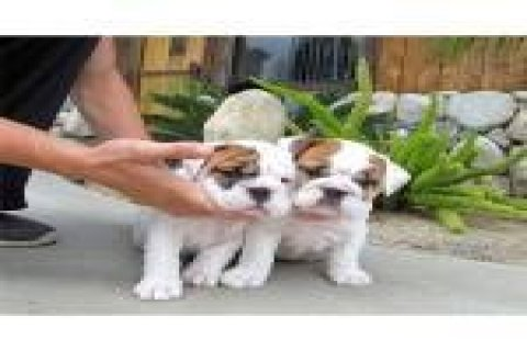 صور 2 Amazing English Bulldog Puppy Available 1