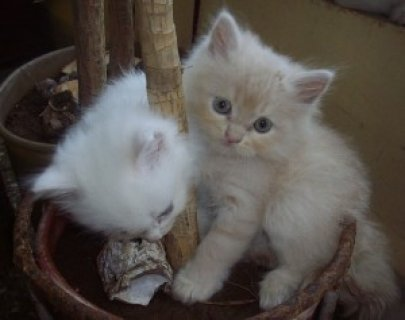 2 Persian Cat For Sale