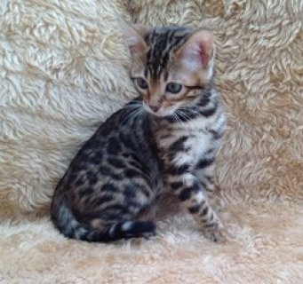 2 TICA Registered Bengal Kittens