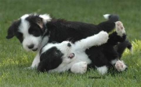 bearded collie Puppies for adoption