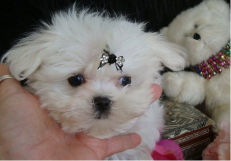 Beautiful AKC Teacup Maltese Puppies Available