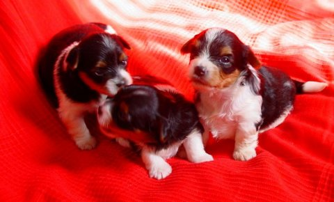 Biewer Terrier Puppies Girls And Boys Reay Now