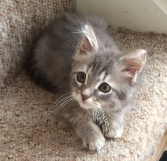 Baby Allergy Siberian Kittens For Rehomin