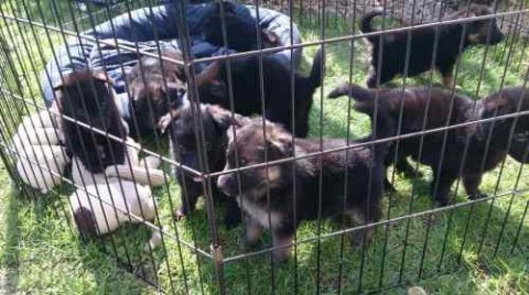 German Shepherd Puppies ready for adoption