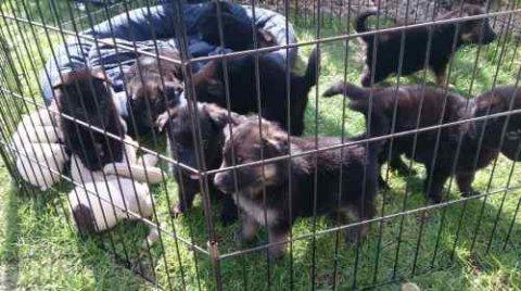 German Shepherd Puppies ready for adoption