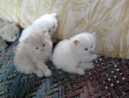 BEAUTIFUL SOLID WHITE BLUE EYED PERSIAN FEMALE KITTEN!