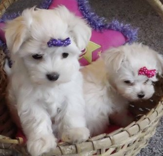 Gorgeous Tiny Maltese Puppies
