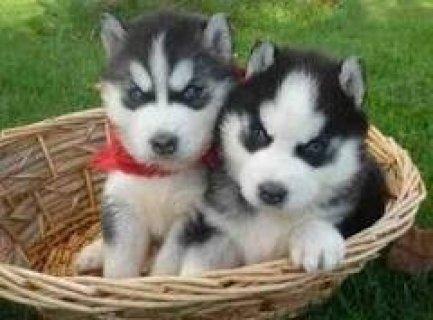 Most Loving Baby Siberian Husky For Adoption