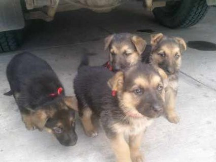 German Shepherd Puppies(kc reg,ped,health tested