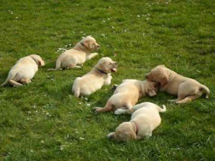 صور Cute male and female Adorable labrador  puppies For Adoption 1