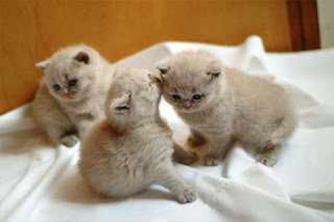 Gorgeous British Shorthair Kittens Ready