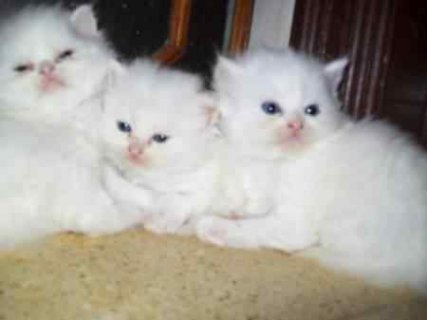 Cute Persian Kittens Available here