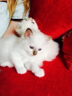 صور STUNNING BIRMAN KITTENS FOR SALE 1