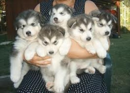 صور Cute Alaskan Malamute Puppies Available For Xmas 1