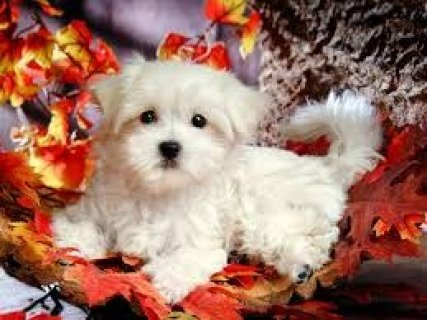 صور 2 Well trained Teacup Maltese Puppies 2 1