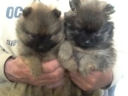 صور Micro Teacup Pomeranian Puppies For Sale Happy X_mas  1