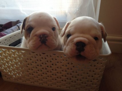 Two X_mas English Bulldog Pups Available