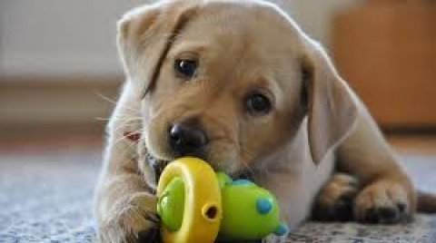 صور Labrador Retriever 1