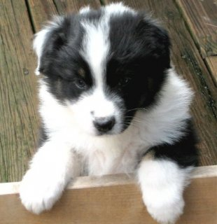 صور cute and lovely Australian Shepherd Puppies for sale 1