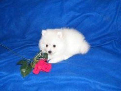 Pomeranian Puppies.Ready for new homes now