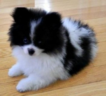 صور Micro tinny teacup Pomeranian puppies for you now contact asap. 1
