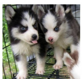صور Beautiful Siberian Husky Puppies! 1