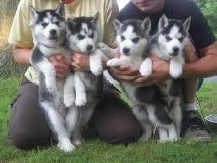 صور XMas Huskies for Sale 1