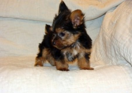 Awesome AKC yorkie ups For Christmas