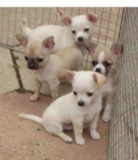 smooth coat chihuahua, excellent 5 generation pedigree For Xmas