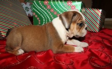* * * Gorgeous Female English Bulldog Puppy Available * * * * He
