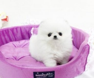 صور Top Quality Pomeranian Puppies Available 1