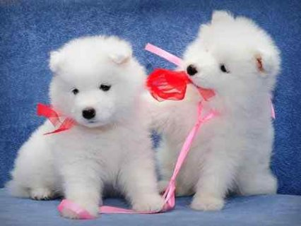 صور Registered Samoyed puppies for  good homes 1