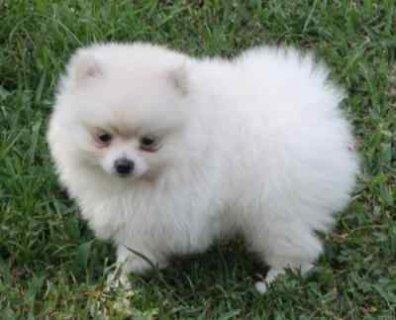 Lovely Female Pomeranian puppy
