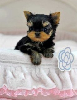 Yorkie Puppies for Available For Sale Now5