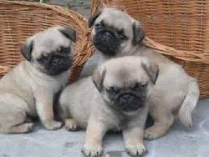 صور Pug pups for rehoming 1