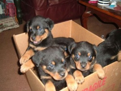 Charming Rottweiler Puppies
