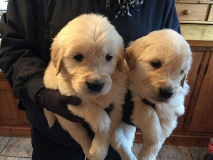 صور Very healthy Golden Retriever Puppies 1