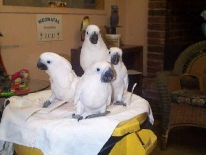 Umbrella Cockatoos Parrots Available
