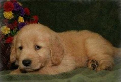 صور Beautiful Golden Retriever Puppies for Sale 1