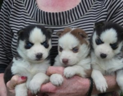 صور Blue Eyed Siberian Husky for Sale 1