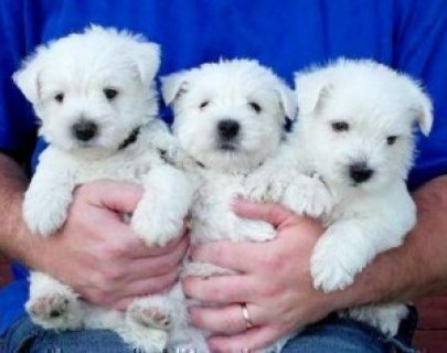 West Highland Terrier Puppies.