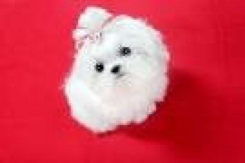 Mlatese Puppies