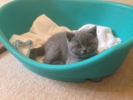 Lovely outgoing British shorthair self blue male GCCF reg non ac
