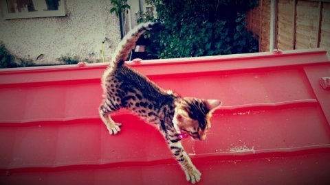 *****noble bengal kitten*****