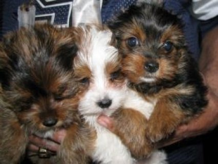 Lovely Male and Female Yorkies Available