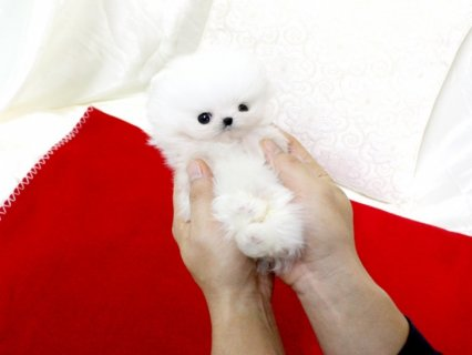Pomeranian Puppies for adoption.......
