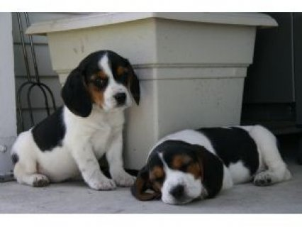 صور Cute Beagle Puppies,,,,, 1