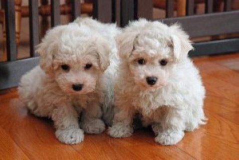 صور Beautiful Bichon Frise Puppies for pet loving family,,,,,,,,,,,, 1