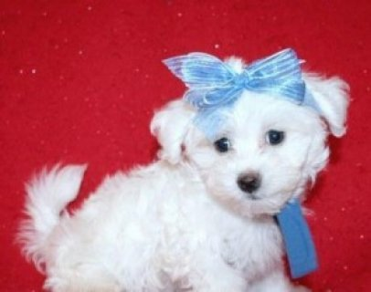 صور Maltese puppy for Sale................ 1